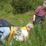 clearing rosebay willow herb holyrood park