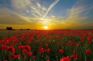 National Remembrance Day - Photo of poppy field at sunset