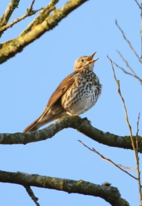 Photo of song thrush