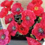 Poppies for Rembrance Day